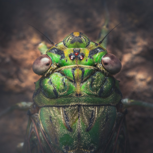 """Closeup of a Green Cicada"" stock image"