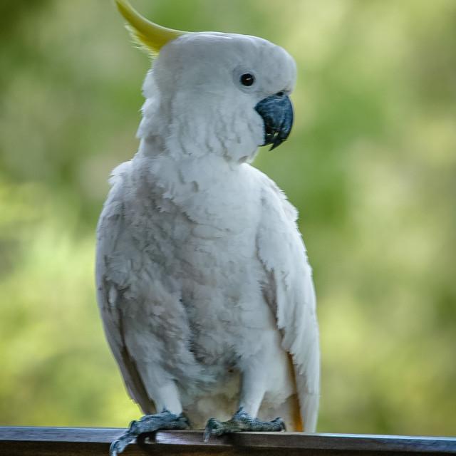 """Sulphur-Crested Cockatoo"" stock image"