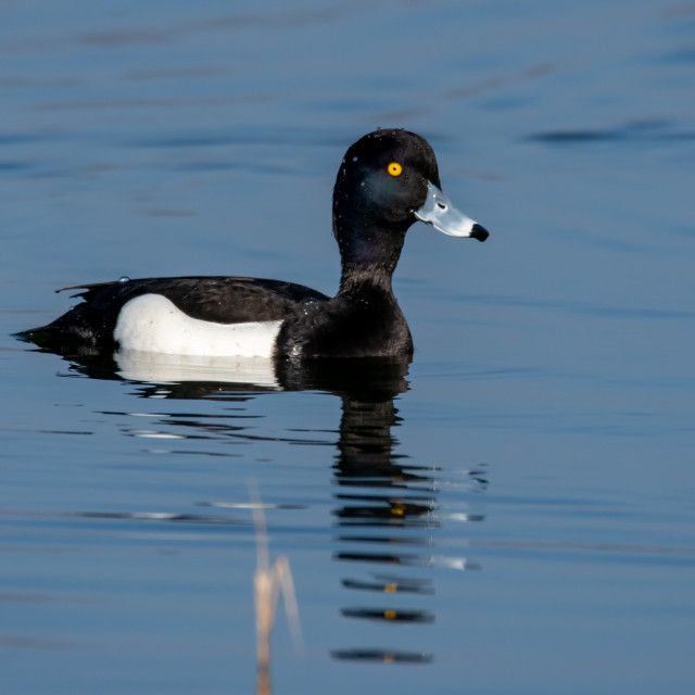 """""""Tufted Duck"""" stock image"""