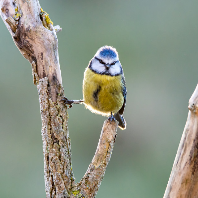 """""""Blue Tit on a Gnarled Branch"""" stock image"""