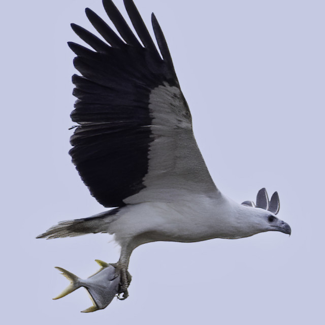 """""""White bellied sea eagle with a big fish"""" stock image"""