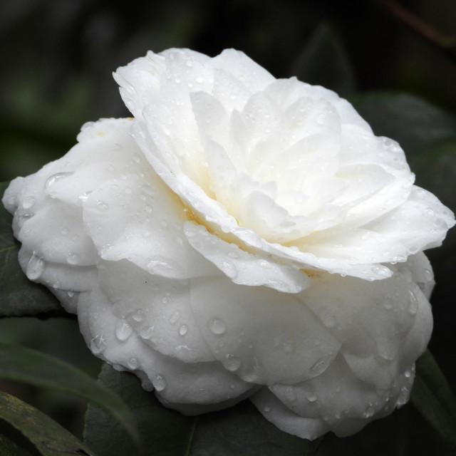 """Rain-kissed White Camellia"" stock image"