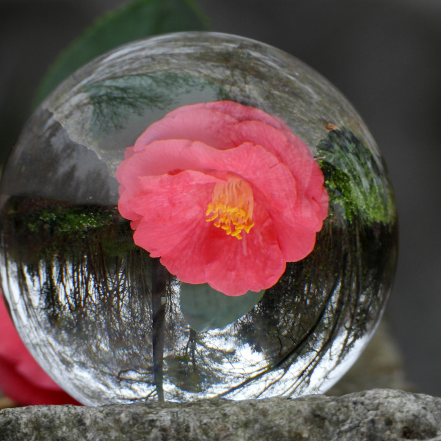 """""""Camellia Reflected in Crystal Ball"""" stock image"""