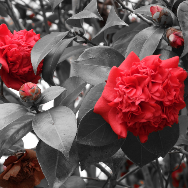 """""""Splash of Color - Triple Red Camellias"""" stock image"""