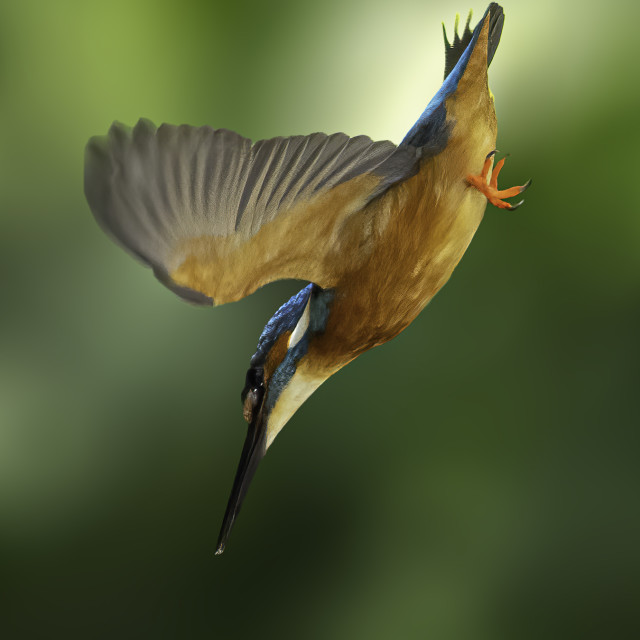 """""""Common kingfisher go for the dive"""" stock image"""