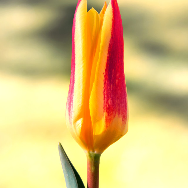 """Colorful Tulip"" stock image"