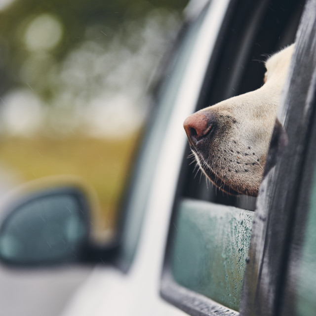 """""""Curious dog travel by car"""" stock image"""