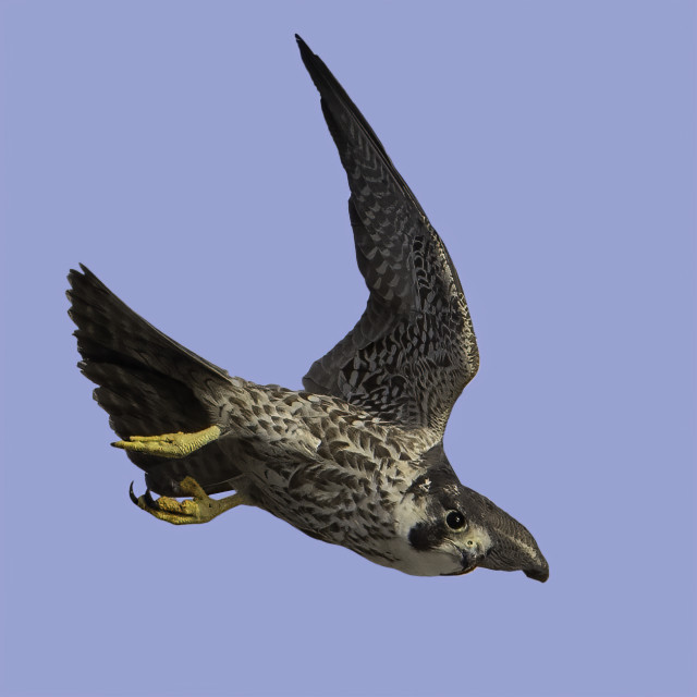 """""""Peregrine falcon on the hunt!"""" stock image"""