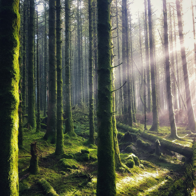 """""""Light of the Forest"""" stock image"""