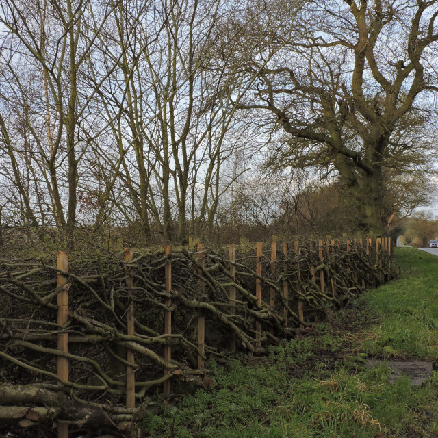 """""""Cut and laid hedge, Needwood, March 2021"""" stock image"""