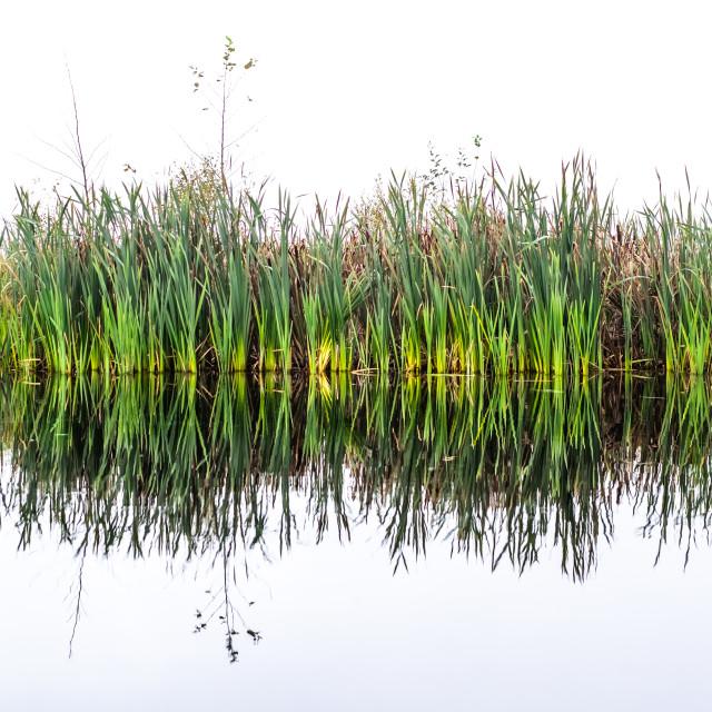 """Reed Reflection"" stock image"