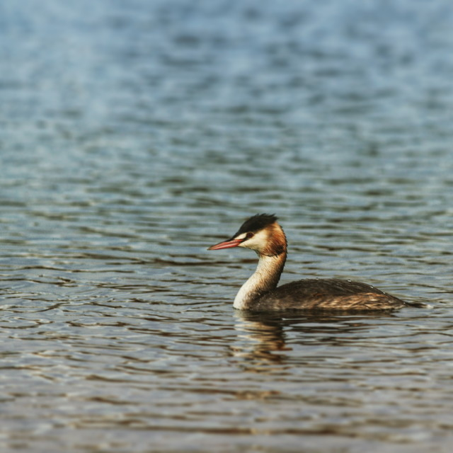 """""""Great crested grebe on lake"""" stock image"""