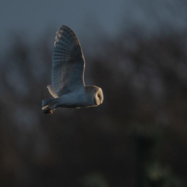 """Barn owl flyby"" stock image"