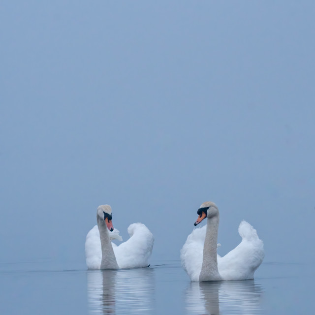"""""""Swans on a misty morning"""" stock image"""