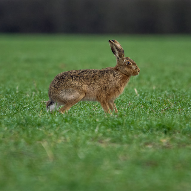 """""""Portrait of a hare"""" stock image"""