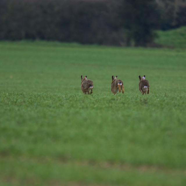 """Hares running away"" stock image"