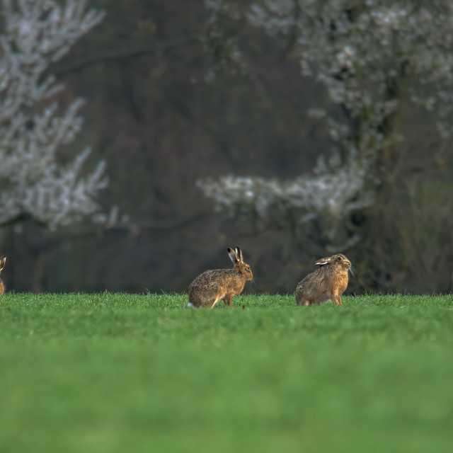"""""""Hares in a field"""" stock image"""