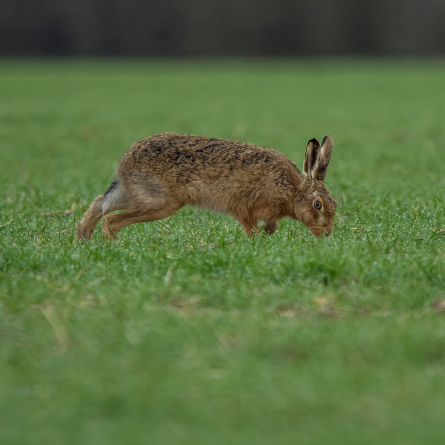 """Hare portrait"" stock image"