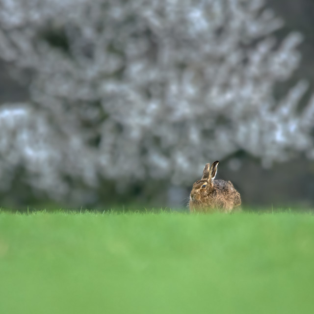 """""""Hare hunkered in field"""" stock image"""