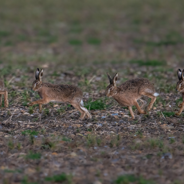 """""""Hare running composition"""" stock image"""