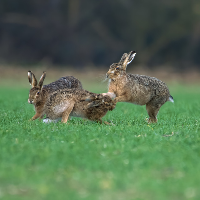"""""""Hares boxing"""" stock image"""