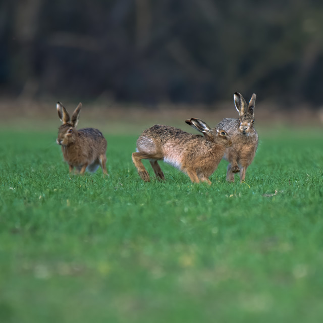 """""""Hares chasing each other"""" stock image"""