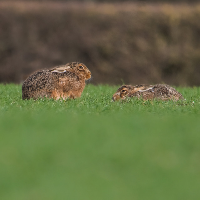 """""""Hares in field"""" stock image"""