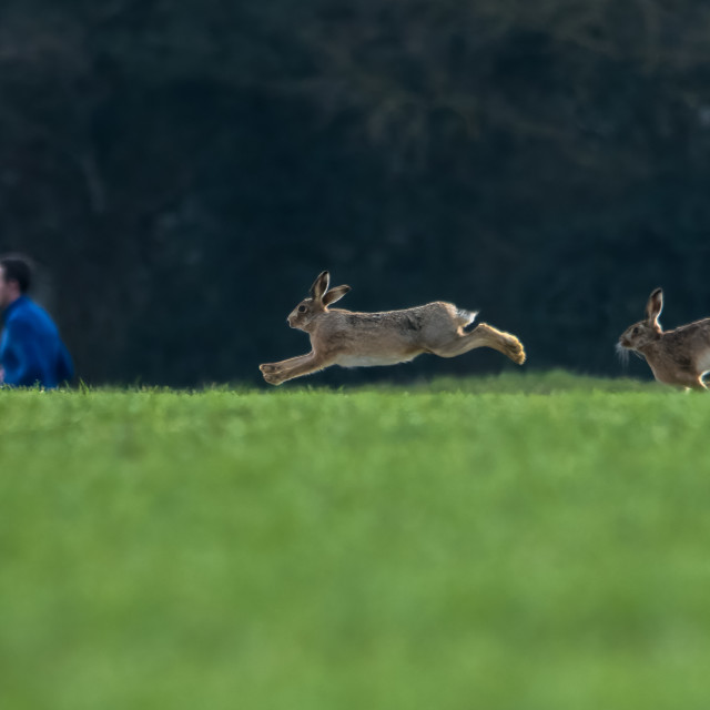 """""""Hares chasing as running goes past"""" stock image"""