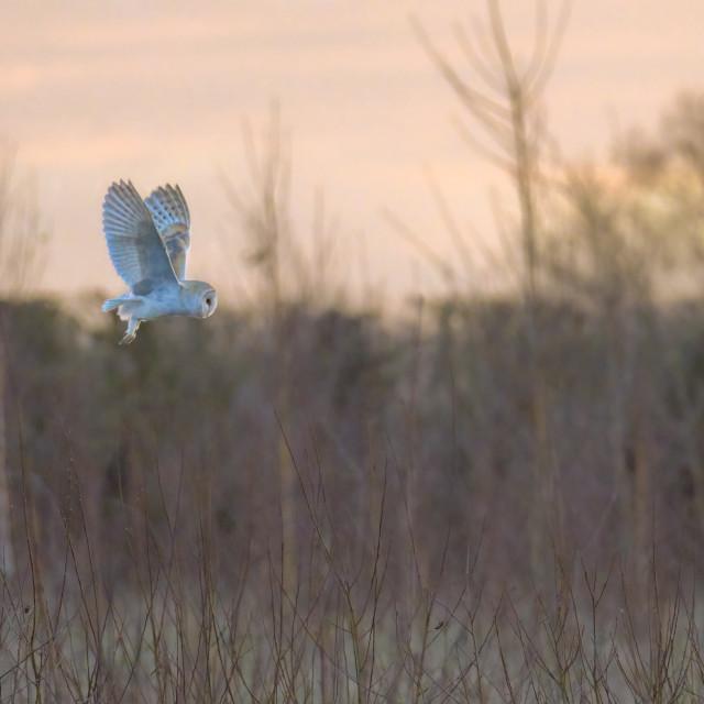 """Barn owl flying at sunset"" stock image"
