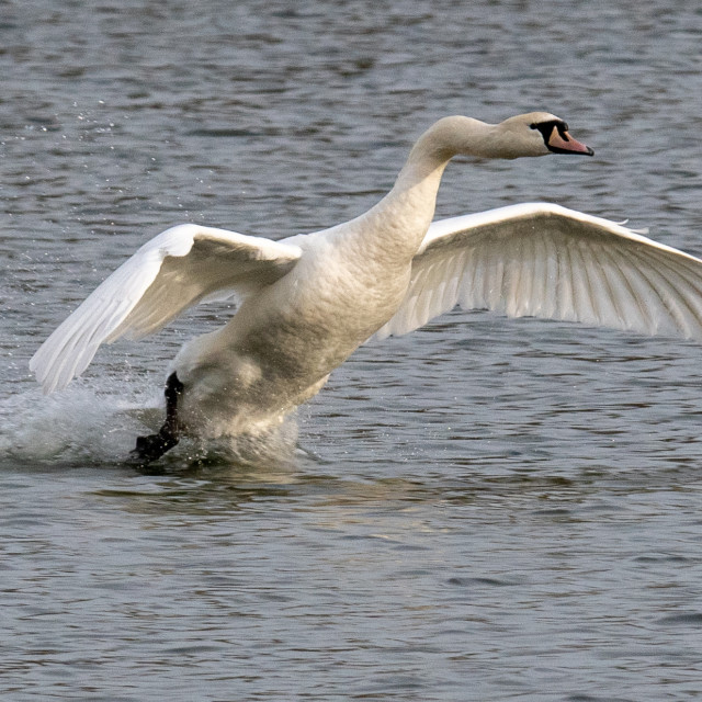 """""""Swam coming into land"""" stock image"""