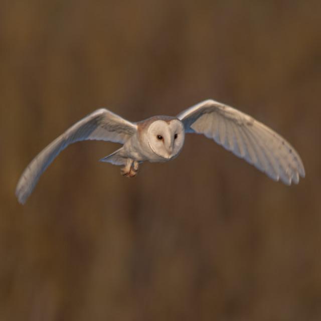 """""""Barn owl flying in golden hour"""" stock image"""