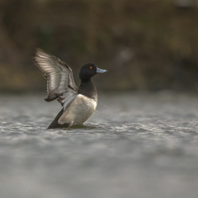 """""""Tufted duck stretch"""" stock image"""
