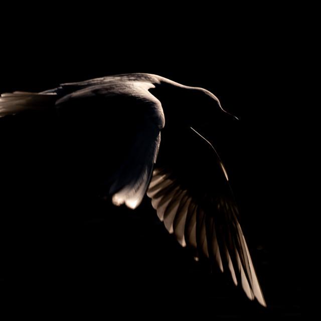 """Rim lit gull"" stock image"