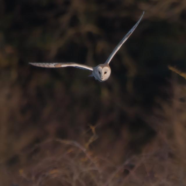 """""""Barn owl flying"""" stock image"""