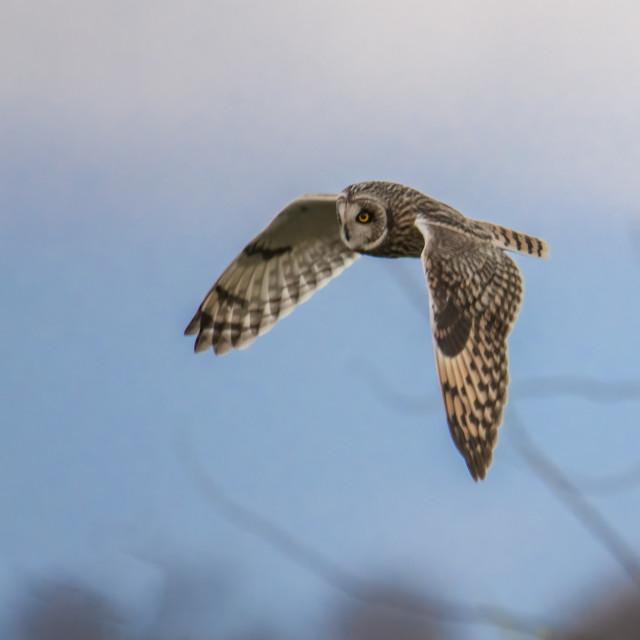 """Short eared owl flyby"" stock image"