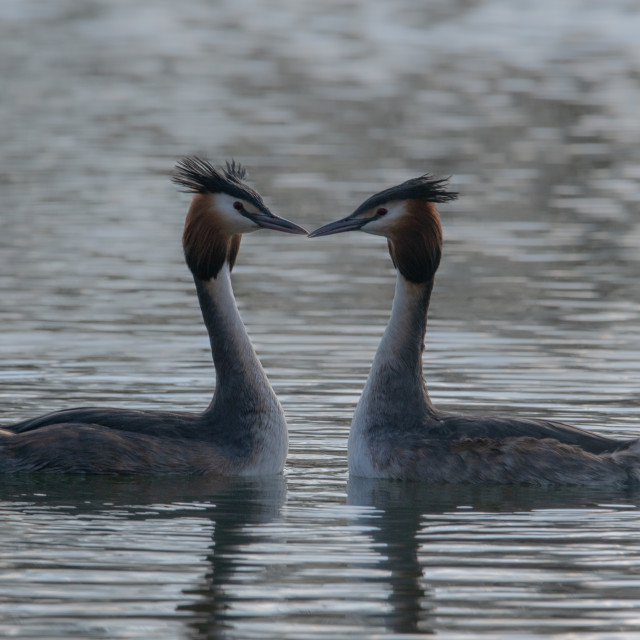 """""""Great Crested grebe pair"""" stock image"""