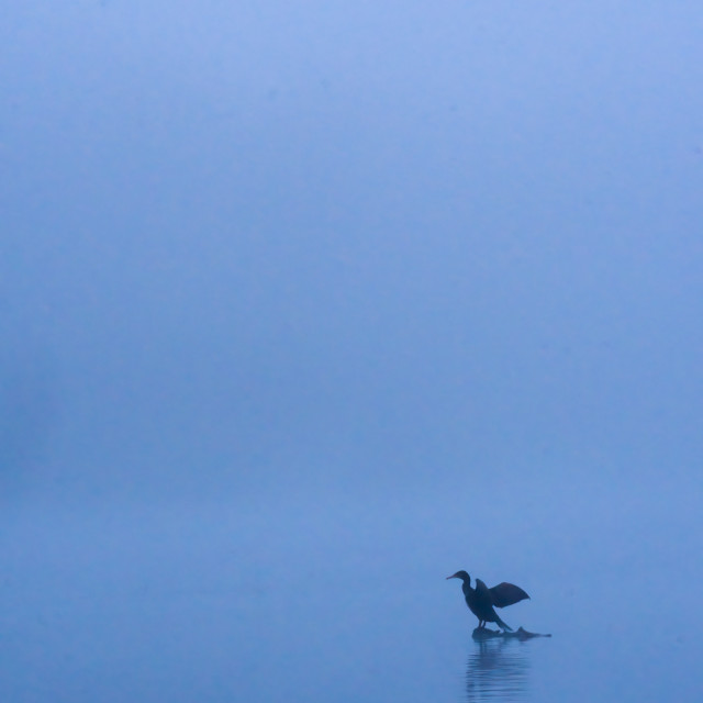 """Comorant on misty morning"" stock image"