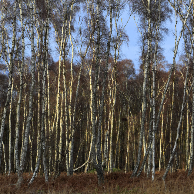 """""""Frosty woodland at Holme Fen, the lowest ground in Britain, Holme village,..."""" stock image"""
