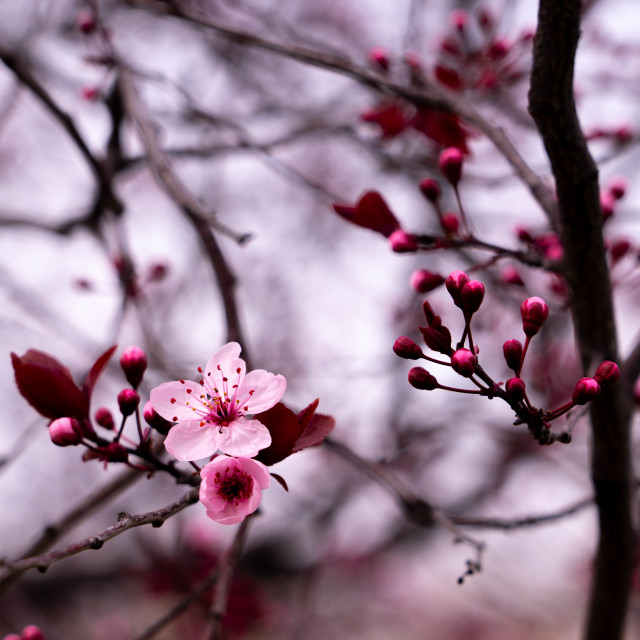 """""""Flowering blossoms"""" stock image"""