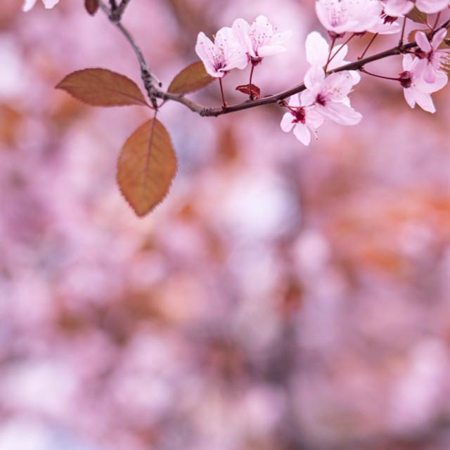 """Under the almond tree"" stock image"