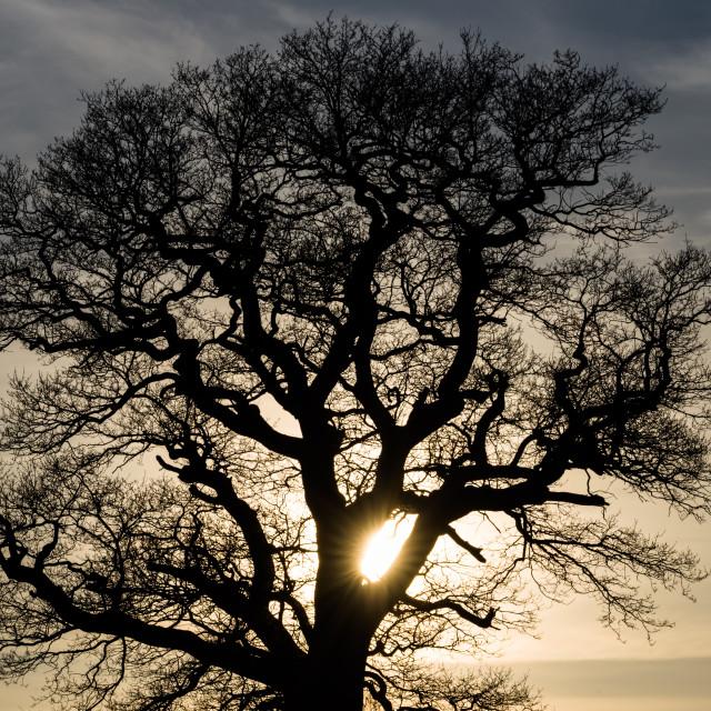"""Oak Silhouette"" stock image"