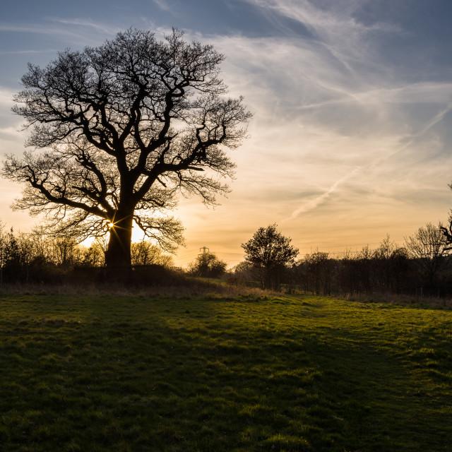 """""""Oak Tree Silhouette"""" stock image"""