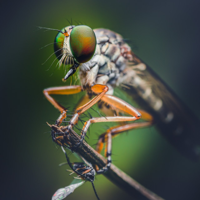 """Closeup of a Robber Fly"" stock image"