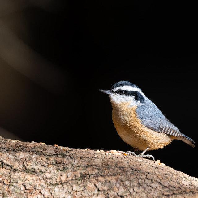 """Red-Breasted Nuthatch in Whitby, Ontario"" stock image"