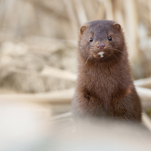 """American Mink Pokes Out of Cattails, Rouge National Urban Park, Toronto"" stock image"