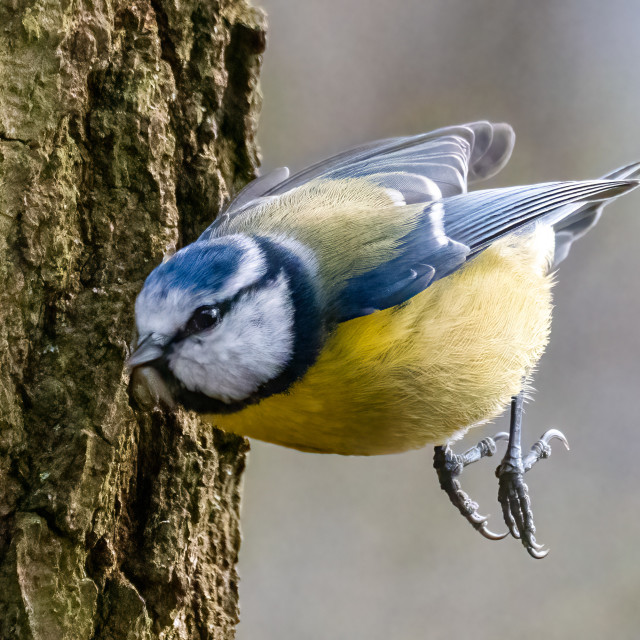 """""""A Blue Tit in a hurry, Wandlebury, Cambridge UK."""" stock image"""