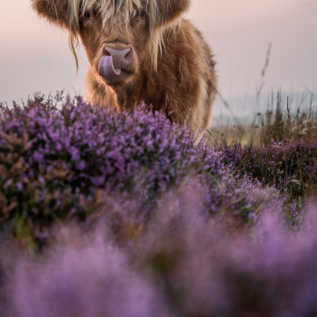 """Heather Coo"" stock image"