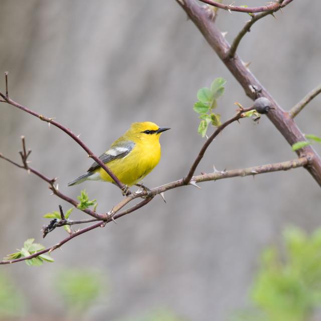 """Blue-winged Warbler Perching on Rose Bush"" stock image"