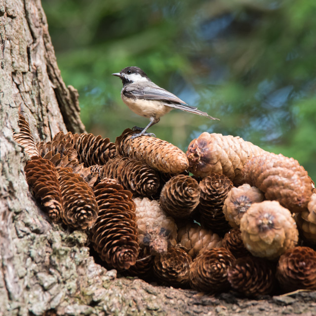 """Black-capped Chickadee Perched Atop Red Squirrel's Pinecone Midden"" stock image"