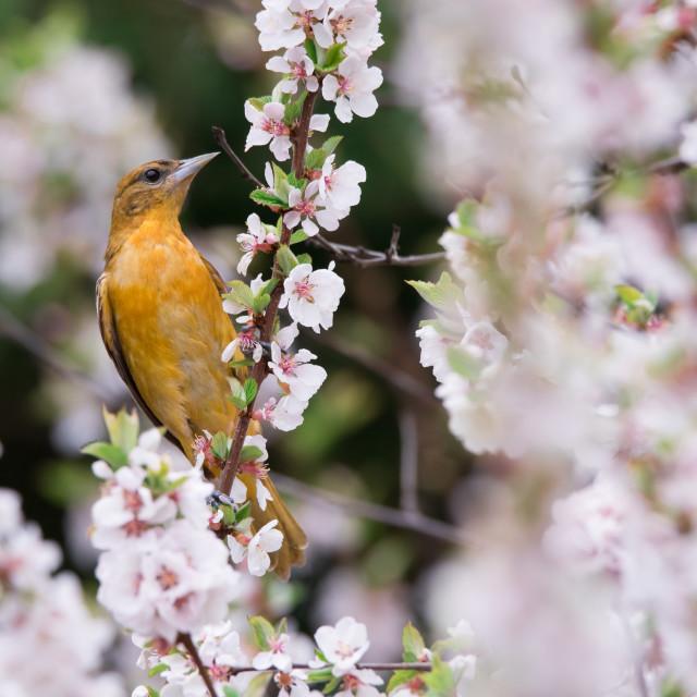 """Female Baltimore Oriole in Cherry Blossoms"" stock image"